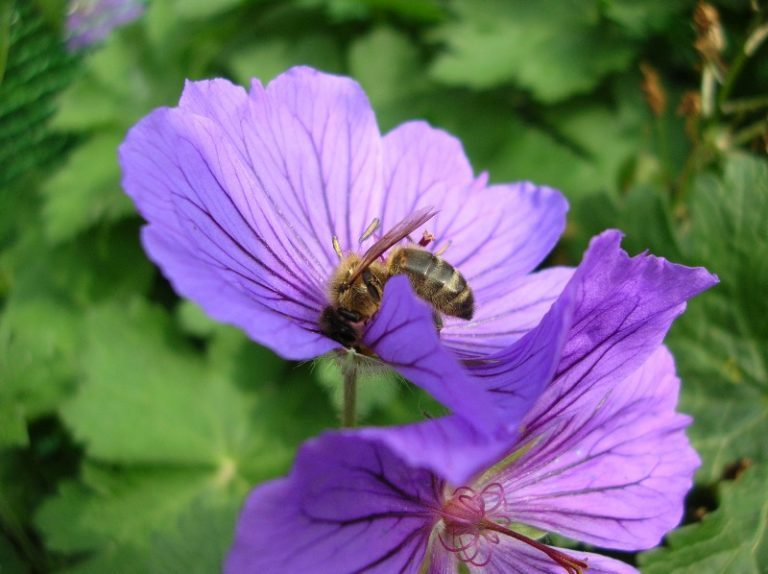 Bee on mallow