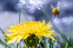 Bee landing on dandelion