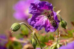 Bee on mallow