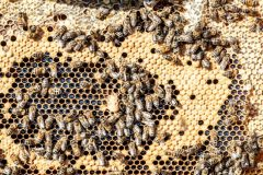 Frame of capped brood