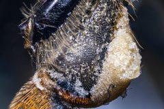 Pollen in pollen basket